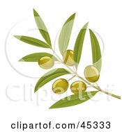 Branch Of Organic Green Olives On A Tree