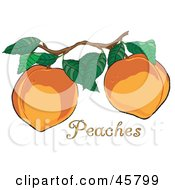 Two Fresh And Organic Peaches Growing On A Tree In An Orchard