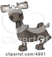 Full Grown Bull Moose With Antlers