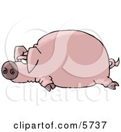Fat Pink Pig Laying On The Ground Clipart Illustration