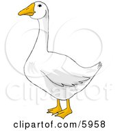 White Goose With Orange Bill And Feet