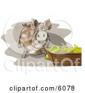 Pot-Bellied Pig Beside A Feeding Container Full Of Corn Cobs