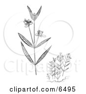 Water Willow Plants Clipart