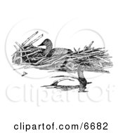 Canvasback Diving Ducks Clipart Illustration