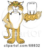 Royalty Free RF Clipart Illustration Of A Bobcat Character Holding A Tooth