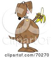 Brown Dog Eating A Banana