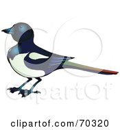 Royalty Free RF Clipart Illustration Of A Magpie Bird With A Colorful Tail by Snowy