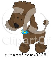 Cute Chocolate Poodle Puppy Dog Wearing A Blue Collar With Yellow Spots And Sporting A Puppy Clip