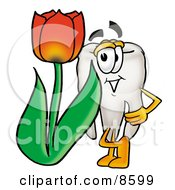 Tooth Mascot Cartoon Character With A Red Tulip Flower In The Spring