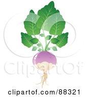 Shiny Purple Turnip With Gree Leaves