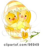 Two Cute Spring Chicks Peeking Out Of A Broken Easter Egg By A Daffodil