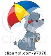 Gray Poodle Puppy Sitting Under An Umbrella In The Rain